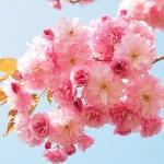 【大阪】記念撮影のために桜の枝を折り、トイレも汚し「マナー悪すぎや」 中国人客らの「爆花見」に波紋…大阪城公園