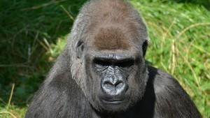 【動物】逃走ゴリラ訓練:握力800キロの怪力「太郎」が逃げた