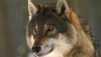 【社会】ニホンオオカミの生存を信じる民間グループ、三重県の山中で調査開始